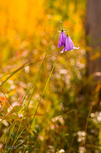Colorado,harebell,bluebell,Campanula rotundifolia,flower