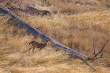 Mongomery Woods SP,mule deer,doe,morning