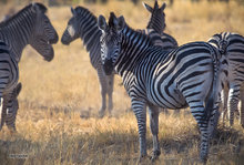 Botswana,Africa,zebra,harem,stallion