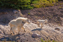 Mountain Goats,Oreamnos americanus,kids,Banff NP,Alberta,Canada