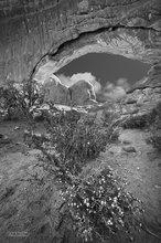 Arches NP,North Window,Velvety Nerisyrenia or Mesa Greggi (Nerisyrenia camporum),Narrowleaf stoneseed (Lithospermum incisum,Boraginaceae)