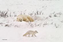 Churchill, Manitoba, Canada, polar bear