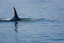 Orca,Orcinus orca,Building Cove,Aialik Peninsula,Kenai,Fjords NP,Alaska