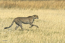 Botswana,Africa,Cheetah