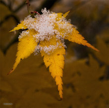 snow,maple leaf