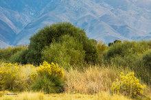 Owens Valley,morning,rabbit brush