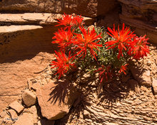 Canyonlands,red,flower,Indian Paintbrush