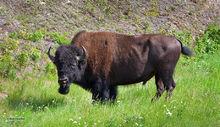 Bison,Bison Bison,Yukon,Canada