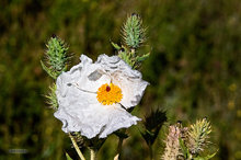 Colorado,Roxborough Park,Prickly Poppy,Argemone polyanthemos