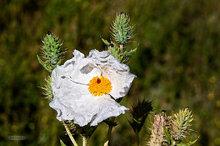 Colorado,Roxborough Park,Prickly Poppy,Argemone polyanthemos