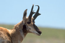 Pronghorn,profile,portrait;Yellowstone NP
