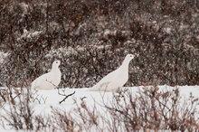 Churchill,Manitoba,Canada,Dymond Lake,Ptarmigan,snow