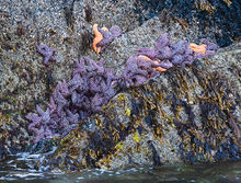 Sea Stars, Fox Island, Resurrection Bay, Kenai, Fjords NP, Alaska