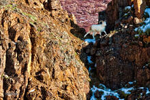 Alaska,Dall sheep,Denali NP,Ovis dalli