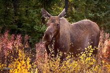 Moose, cow, Yukon, Canada