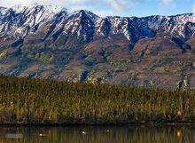 Swan,Pickhandle Lake,Kluane NP,Yukon,Canada