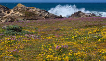 Salt Point SP, wildflowers, exploding surf