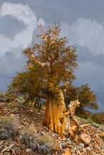 Bristlecone Pine, White Mountains