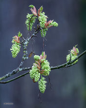 Big Leaf Maple, Catkins