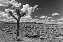 Joshua tree, Mt Jackson Ridge, Cuprite Hills