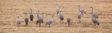 Sandhill crane, Lakeview, NV, Wilcox Ditch, Warner Highway, Hart Mountain National Antelope Refuge