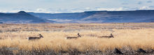 White tail deer, Malheur National Wildlife Refuge, Sandhill Crane, Blitzen Valley