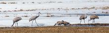 Malheur National Wildlife Refuge, Sandhill Crane, Canada Goose