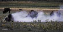 Bison, Lamar Valley, Yellowstone NP, Wyoming