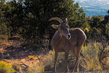 Rocky Mountain Bighorn Sheep, Colorado NM