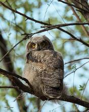 Fledgeling Great Horned owlet