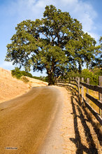 Oak tree,road,fence,Reeves Canyon,California