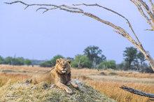 Botswana,Africa,lion,panthera leo,savannah