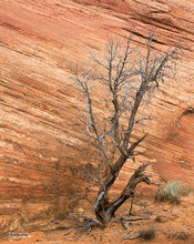Burr Trail,Utah,striated rock,snag,textures,red,desert