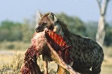 Botswana,Africa,hyena,predation