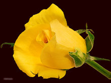 yellow,rose