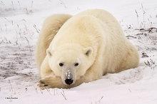 Churchill,Manitoba,Canada,polar bear