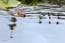 Skookum Lake,beaver,Castor canadensis,Swanson River Road,Kenai Wildlife Refuge,Kenai Peninsula,Alaska