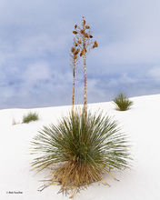 White Sands NM,Soaptree yucca,seed pods