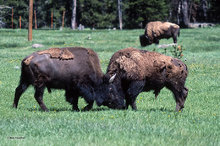 Bison,sparring,dominance
