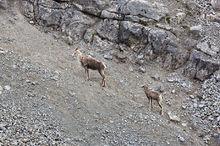 Stone sheep,Ovis canadensis,Stone Mountain Prov. Park,B.C.,Canada