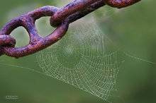 animal,animals,Arachnid,beast,beasts,creature,creatures,invertebrate,spider,undomesticated,wildlife,zoology,web,dew drops,chain links