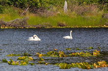 swan,Cygnus buccinator,Weed Lake,Swanson River Road,Kenai National Wildlife Refuge,Kenai Peninsula,Alaska