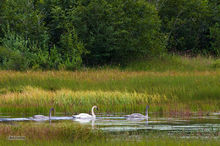 Trumpeter Swan and Subadult Cygnets