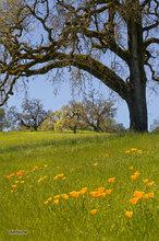 Mendocino foothills,oaks,poppies,grasses