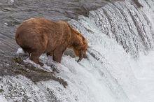 Brown (Grizzly) bear,Ursus Arctos,Brooks Falls,salmon,fishing,Katmai NP,Alaska Penninsula,Alaska