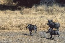 Botswana,Africa,warthog,savannah