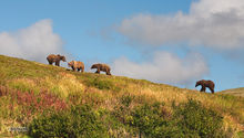 Katmai NP,Brown (grizzly) bear,Ursus Arctos,Moraine Creek