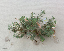 White Sands NM,evening primrose