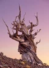 Schulman Grove,bristlecone pine,evening,twilight,moon