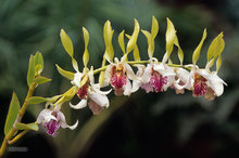 plant,flower,orchid,white